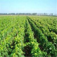 志森园艺嫁接葡萄苗品种 晚熟阳光玫瑰葡萄苗规格 阳光玫瑰葡萄苗产地