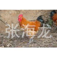 *专业养殖长期出售青脚土鸡  五黑鸡 优抗优质品种好土鸡