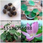 供应红色荷花苗、白色荷花种苗、粉色荷花种子、黄色荷花种植、紫色荷花种苗、蓝色荷花苗