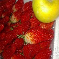 山东泰安基地 批发草莓苗 泰安种苗 大棚草莓苗价格 红颜小苗 品种纯正