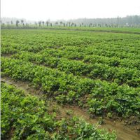 甘肃草莓苗供应,哪里出售的草莓苗好