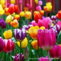 批发厂家直销 荷兰进口种球 郁金香种球盆栽花卉 水培植物