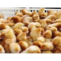 供应河南蛋鸡苗,河南青年鸡,河南海兰褐蛋鸡苗选择江苏裕丰禽业有限公司
