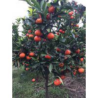 供应湖南世纪红柑橘苗 广西世纪红柑桔价格 柑橘新品种世纪红苗木