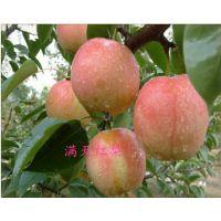 满天红梨树苗什么品质 低价出售满天红梨树苗