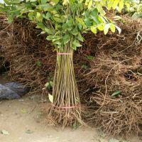 批发出售适合大棚种植的香椿树苗 哪里有红油香椿树苗
