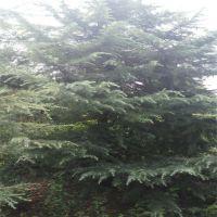 批发松树雪松小苗 5年生耐寒常青雪松苗 工程绿化苗木 成活率高