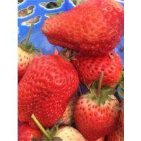 红颜草莓苗基地,喀什红颜草莓苗,世杰园艺场