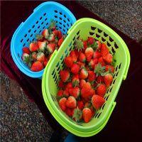 三叶一芯草莓苗多少钱 二代草莓苗哪里有