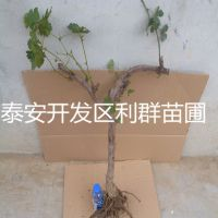葡萄树苗 葡萄树苗价格 葡萄树苗基地