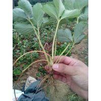 河北山东草莓苗价格,哪里草莓苗纯,