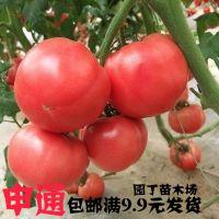 蔬菜种子 大番茄种子 阳台盆栽果蔬 庭院种植菜籽 西红柿种子
