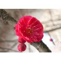 梅花盆景红梅苗骨里红梅花全国包邮保活嫁接梅花树苗