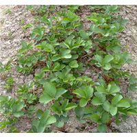 法兰地草莓苗种植技术|茂名法兰地草莓苗|泰安龙泽苗木