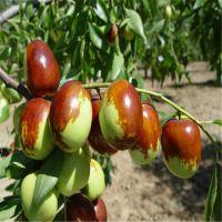 枣树苗品种 嫁接枣树苗批发 枣树苗种植基地