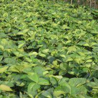脱毒草莓苗多少钱,石家庄脱毒草莓苗,泰达园艺场