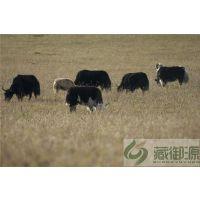 牦牛肉厂家|藏御源|若尔盖特产牦牛肉厂家