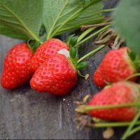 成都咖啡草莓苗、乾纳瑞农业科技、咖啡草莓苗直销