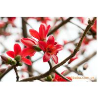 供应林木树种:桤木 ,木棉花 ,池杉种子,杉树等