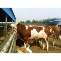 哪里有养殖优质夏洛莱牛的基地 肉牛犊价格多少钱一头
