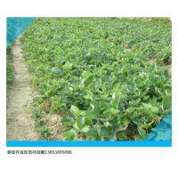 湖北哪里卖红颜草莓苗,草莓苗种植与培育