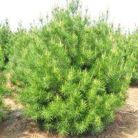 蓝田碧林苗木 供应陕西蓝田白皮松1.5米优质白皮松苗木