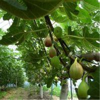 2016年适合种植的果树苗品种 志森园艺为您推荐无花果品种 大青皮