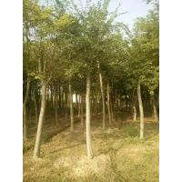 安徽合肥朴树低价格出售,丛生朴树价格,肥西朴树小苗基地