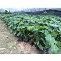 龟背竹,金边吊兰,蔓绿绒春羽水培盆栽批发