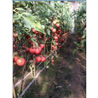 中农3号-抗ty线虫番茄种子
