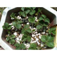 龙泽苗木(图),丰香草莓苗种植,和田地丰香草莓苗
