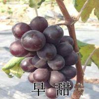 山东大泽山果树苗 嫁接扦插 早甜葡萄苗 早熟高产 南北方种植 葡萄种苗