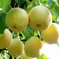 砀山酥梨价格 陕西砀山酥梨批发 砀山酥梨产地价格