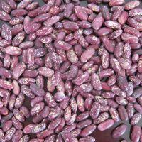 大量供应紫花芸豆 紫砂芸豆 芸豆之乡--黑龙江依安产地生产