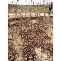 樱桃树苗图片 樱桃树几年结果 大樱桃树苗价格