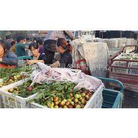 鲜枣供应商 产地批发直销