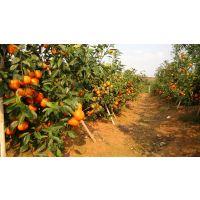 甘孜柑桔苗管理技术,甘孜柑桔苗厂家,甘孜柑桔苗种苗