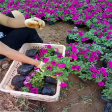 山东摆放金盏菊种植基地
