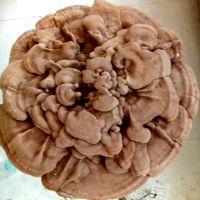 特大灵芝直径55cm灵芝盆景观赏灵芝礼品 高级礼品风水装饰