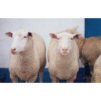 大型肉牛品种-肉牛高效养殖技术