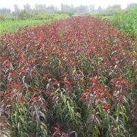 冬桃树苗新品种 贵州冬桃树苗多少钱一棵