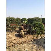 灌木球类【红叶石楠球基地供应】江苏常州苗木自产自销