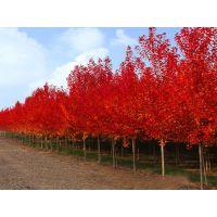 红点红枫|红点红枫|红点红枫大树