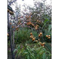 山东0.4公分柿子苗,哪里有便宜的0.4公分柿子小苗
