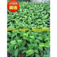 贵州威廉斯B6香蕉苗丨西贡蕉苗丨广东农科院出品优质西贡蕉组培苗丨