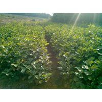 专供优质白玉兰种子 正宗白玉兰种子批发 沙藏白玉兰种子