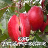 壹棵树农业 盆栽苹果树 矮化苹果新品种怎么卖 欢迎选购