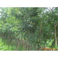 供应山东临沂华信苗木优质杨树苗量大优惠