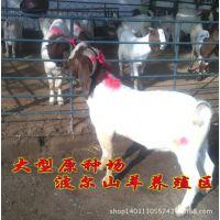 成年肉羊育肥出栏时间 南充波尔山羊种羊怀孕周期