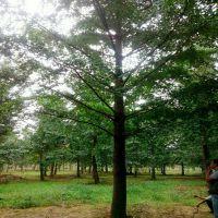 银杏大树胸径35公分白果树价格米径35银杏树价格价钱35cm银杏多少钱